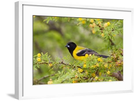 Santa Clara Ranch, Starr County, Texas. Audubons Oriole Perched-Larry Ditto-Framed Art Print