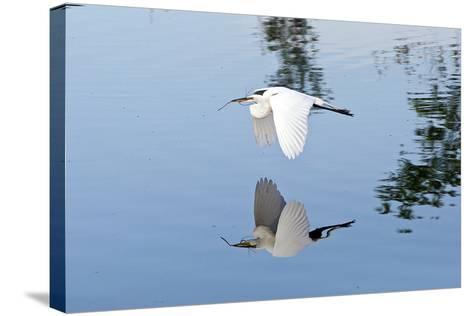 Florida, Venice, Audubon Sanctuary, Common Egret Flying-Bernard Friel-Stretched Canvas Print