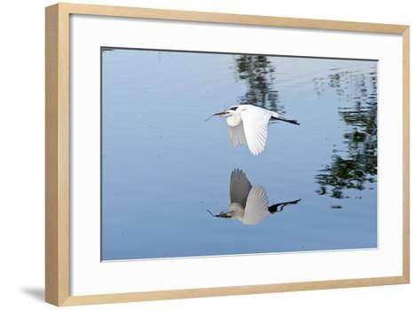 Florida, Venice, Audubon Sanctuary, Common Egret Flying-Bernard Friel-Framed Art Print