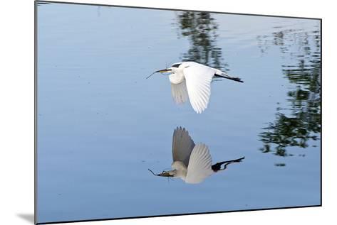 Florida, Venice, Audubon Sanctuary, Common Egret Flying-Bernard Friel-Mounted Photographic Print