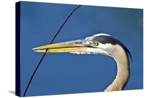 Florida, Venice, Great Blue Heron Holding Nest Material in Beak-Bernard Friel-Stretched Canvas Print