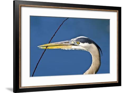 Florida, Venice, Great Blue Heron Holding Nest Material in Beak-Bernard Friel-Framed Art Print