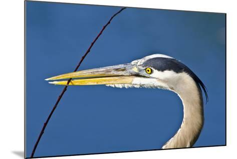 Florida, Venice, Great Blue Heron Holding Nest Material in Beak-Bernard Friel-Mounted Photographic Print