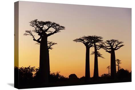 Madagascar, Morondava, Baobab Alley, Adansonia Grandidieri at Sunset-Anthony Asael-Stretched Canvas Print