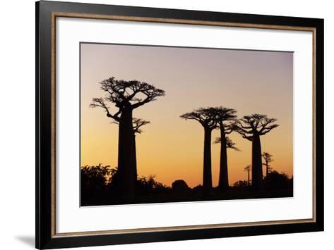 Madagascar, Morondava, Baobab Alley, Adansonia Grandidieri at Sunset-Anthony Asael-Framed Art Print