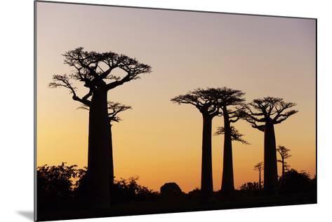 Madagascar, Morondava, Baobab Alley, Adansonia Grandidieri at Sunset-Anthony Asael-Mounted Photographic Print