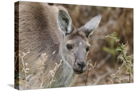 Western Australia, Perth, Yanchep National Park. Western Gray Kangaroo Close Up-Cindy Miller Hopkins-Stretched Canvas Print