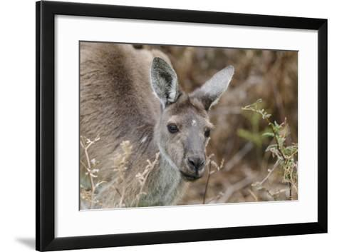 Western Australia, Perth, Yanchep National Park. Western Gray Kangaroo Close Up-Cindy Miller Hopkins-Framed Art Print
