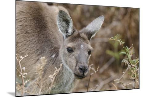 Western Australia, Perth, Yanchep National Park. Western Gray Kangaroo Close Up-Cindy Miller Hopkins-Mounted Photographic Print