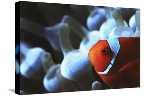 Indo Ocean, Close Up View of Spinecheek Anemonefish-Stuart Westmorland-Stretched Canvas Print