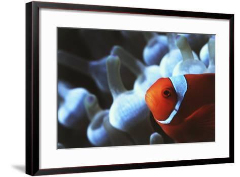 Indo Ocean, Close Up View of Spinecheek Anemonefish-Stuart Westmorland-Framed Art Print