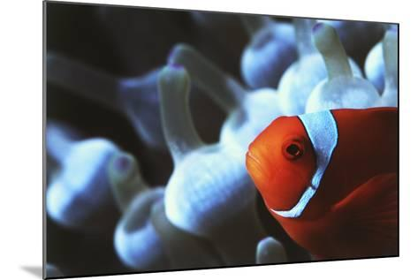 Indo Ocean, Close Up View of Spinecheek Anemonefish-Stuart Westmorland-Mounted Photographic Print