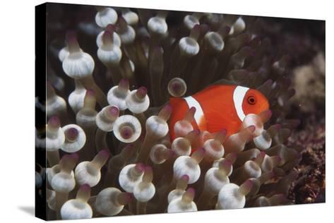 Indonesia, Komodo Island, View of Spinecheek Anemonefish-Stuart Westmorland-Stretched Canvas Print
