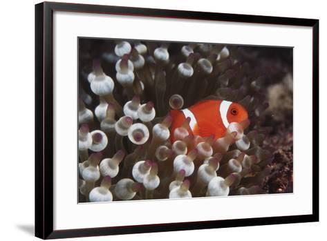 Indonesia, Komodo Island, View of Spinecheek Anemonefish-Stuart Westmorland-Framed Art Print