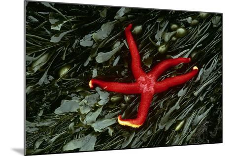 USA, Washington, Tongue Point. Blood Star and Kelp in Tide Pool-Jaynes Gallery-Mounted Photographic Print