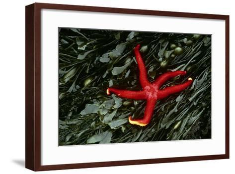 USA, Washington, Tongue Point. Blood Star and Kelp in Tide Pool-Jaynes Gallery-Framed Art Print