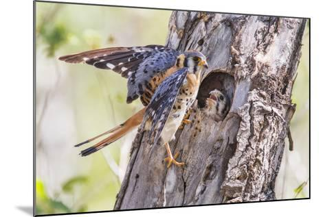 USA, Wyoming, American Kestrel Male at Cavity Nest with Nestling-Elizabeth Boehm-Mounted Photographic Print