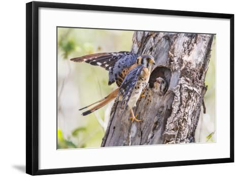 USA, Wyoming, American Kestrel Male at Cavity Nest with Nestling-Elizabeth Boehm-Framed Art Print