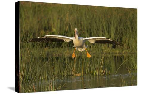 White Pelican Coming in for a Landing, Viera Wetlands, Florida-Maresa Pryor-Stretched Canvas Print