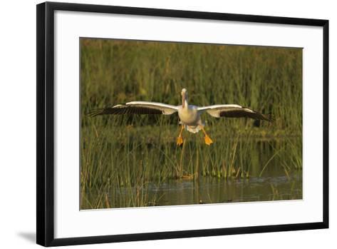 White Pelican Coming in for a Landing, Viera Wetlands, Florida-Maresa Pryor-Framed Art Print
