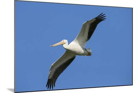White Pelicans in Flight, Viera Wetlands, Florida-Maresa Pryor-Mounted Photographic Print