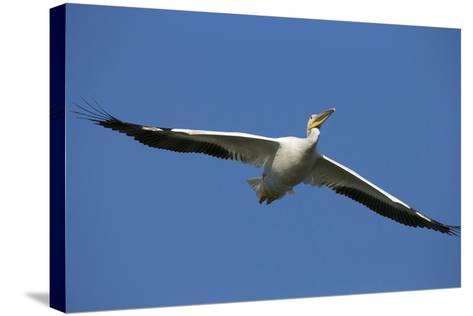 White Pelicans in Flight, Viera Wetlands, Florida-Maresa Pryor-Stretched Canvas Print