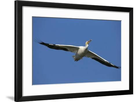 White Pelicans in Flight, Viera Wetlands, Florida-Maresa Pryor-Framed Art Print