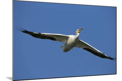 White Pelicans in Flight, Viera Wetlands, Florida-Maresa Pryor-Mounted Photographic Print
