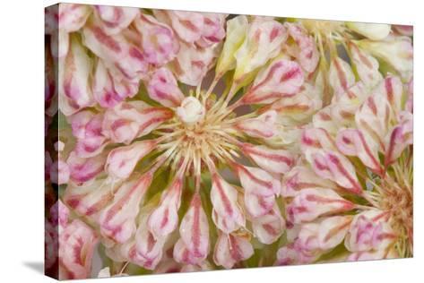 USA, Wyoming, Buckwheat Wildflower Close Up Detail-Elizabeth Boehm-Stretched Canvas Print
