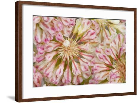 USA, Wyoming, Buckwheat Wildflower Close Up Detail-Elizabeth Boehm-Framed Art Print