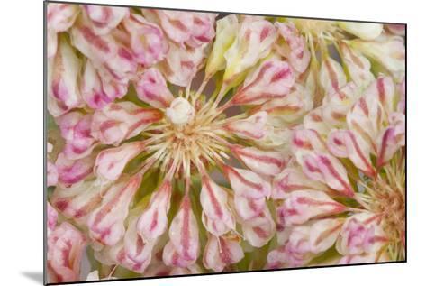 USA, Wyoming, Buckwheat Wildflower Close Up Detail-Elizabeth Boehm-Mounted Photographic Print