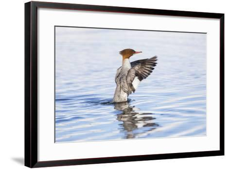 USA, Wyoming, Common Merganser Female Stretching Wings on Pond-Elizabeth Boehm-Framed Art Print
