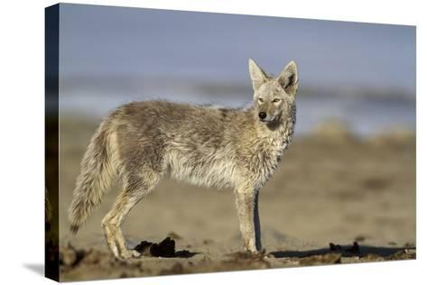 USA, Wyoming, Coyote Standing on Beach-Elizabeth Boehm-Stretched Canvas Print