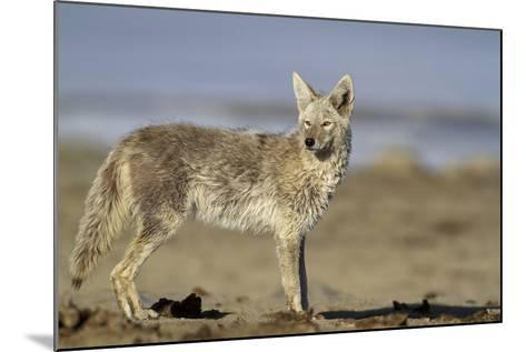 USA, Wyoming, Coyote Standing on Beach-Elizabeth Boehm-Mounted Photographic Print