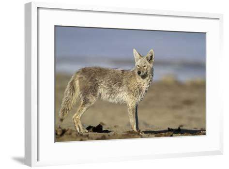 USA, Wyoming, Coyote Standing on Beach-Elizabeth Boehm-Framed Art Print