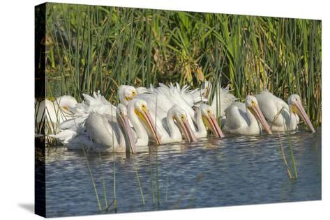 White Pelicans in Line to Begin Feeding, Viera Wetlands, Florida-Maresa Pryor-Stretched Canvas Print
