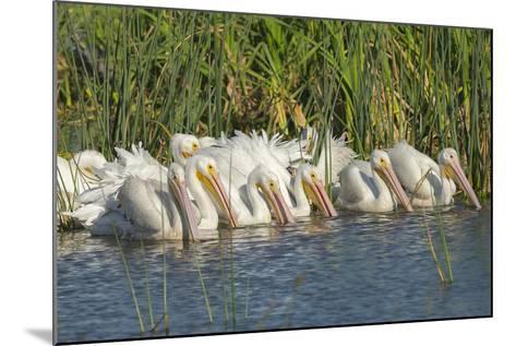 White Pelicans in Line to Begin Feeding, Viera Wetlands, Florida-Maresa Pryor-Mounted Photographic Print