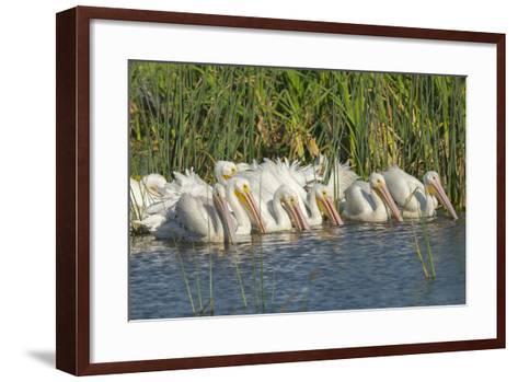 White Pelicans in Line to Begin Feeding, Viera Wetlands, Florida-Maresa Pryor-Framed Art Print