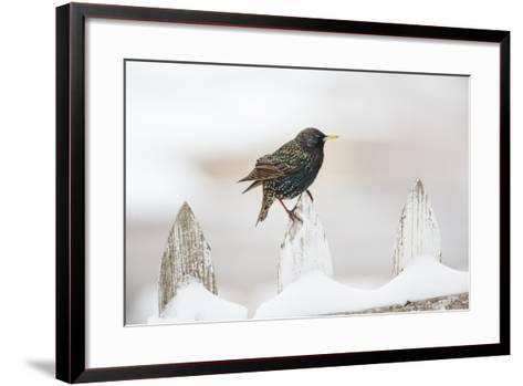 Wichita County, Texas. European Starling on Picket Fence-Larry Ditto-Framed Art Print