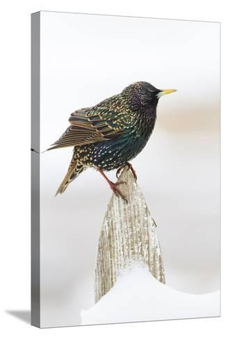 Wichita County, Texas. European Starling on Picket Fence-Larry Ditto-Stretched Canvas Print