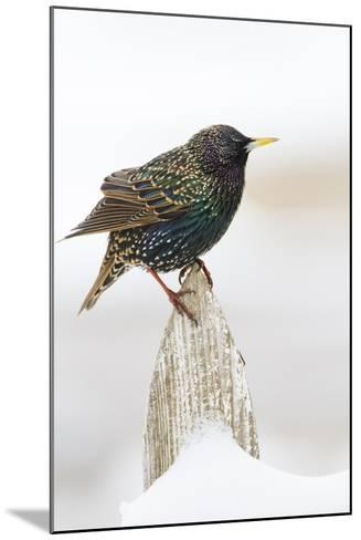 Wichita County, Texas. European Starling on Picket Fence-Larry Ditto-Mounted Photographic Print