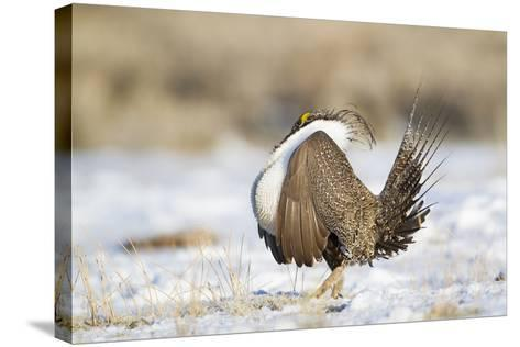 USA, Wyoming, Greater Sage Grouse Strutting on Lek in Snow-Elizabeth Boehm-Stretched Canvas Print