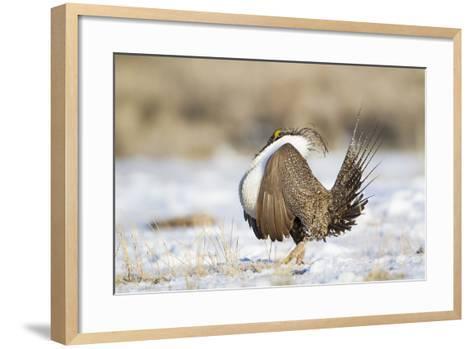 USA, Wyoming, Greater Sage Grouse Strutting on Lek in Snow-Elizabeth Boehm-Framed Art Print