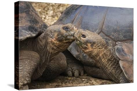 South America, Ecuador, Galapagos Islands. Two Giant Male Tortoises-Jaynes Gallery-Stretched Canvas Print