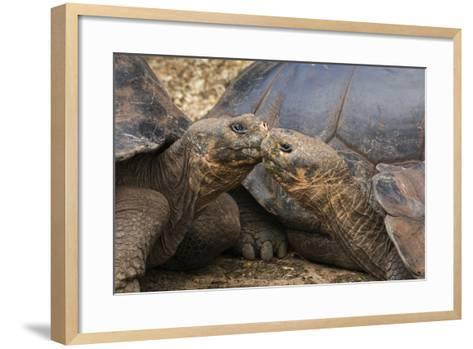 South America, Ecuador, Galapagos Islands. Two Giant Male Tortoises-Jaynes Gallery-Framed Art Print