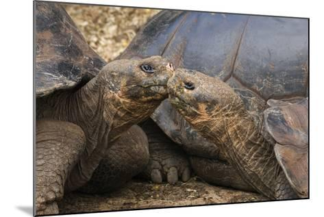 South America, Ecuador, Galapagos Islands. Two Giant Male Tortoises-Jaynes Gallery-Mounted Photographic Print
