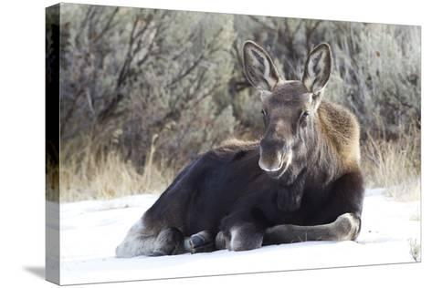 USA, Wyoming, Moose Calf Laying on Snowpack-Elizabeth Boehm-Stretched Canvas Print