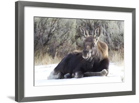 USA, Wyoming, Moose Calf Laying on Snowpack-Elizabeth Boehm-Framed Art Print