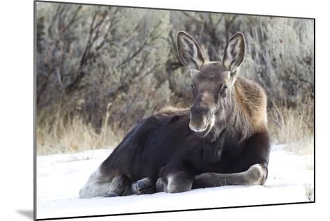 USA, Wyoming, Moose Calf Laying on Snowpack-Elizabeth Boehm-Mounted Photographic Print
