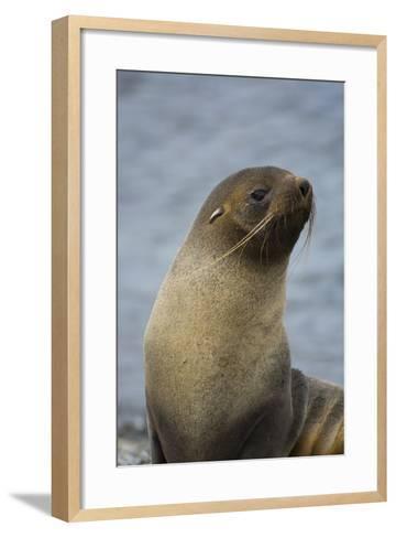 South Georgia. Antarctic Fur Seal, Arctocephalus Gazella-Inger Hogstrom-Framed Art Print
